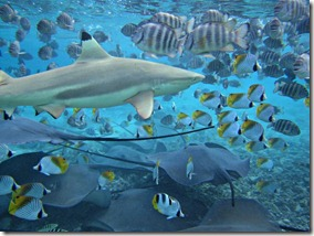 borabora-sharks-fish_23095_600x450