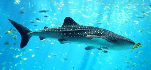 Китовая-акула