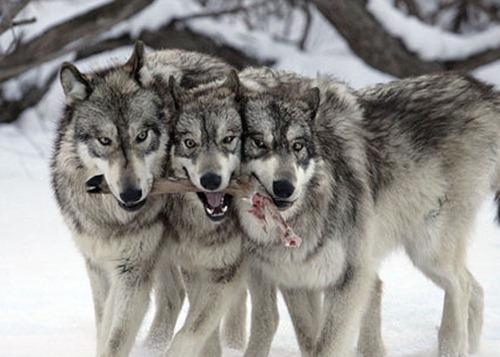 охота волк
